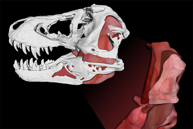 Secrets behind T. rex's bone crushing bites