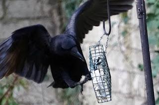 wildlife, birds, crow,
