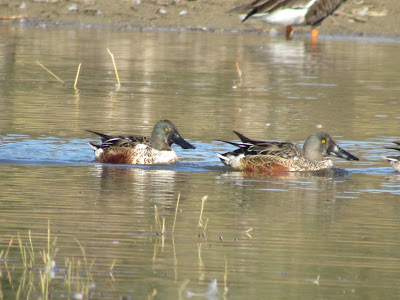 Northern Shovelers first winter