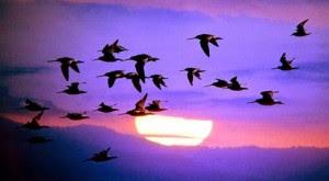 Teknik Navigasi dari Migrasi Burung
