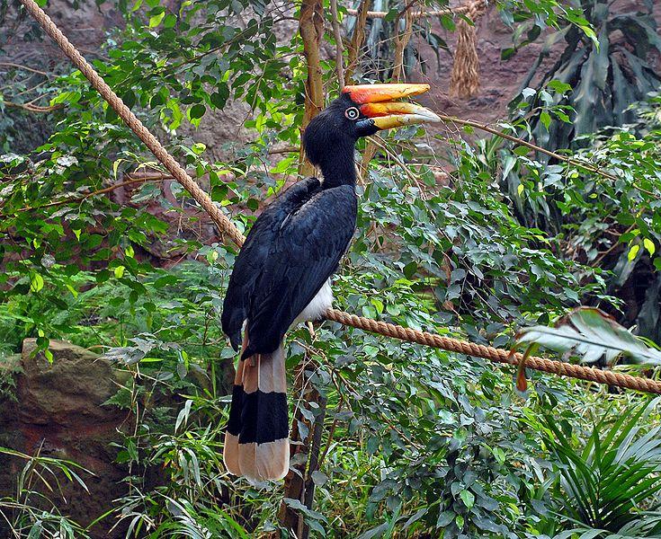 Jenis Burung Kenyalang Info Hewan