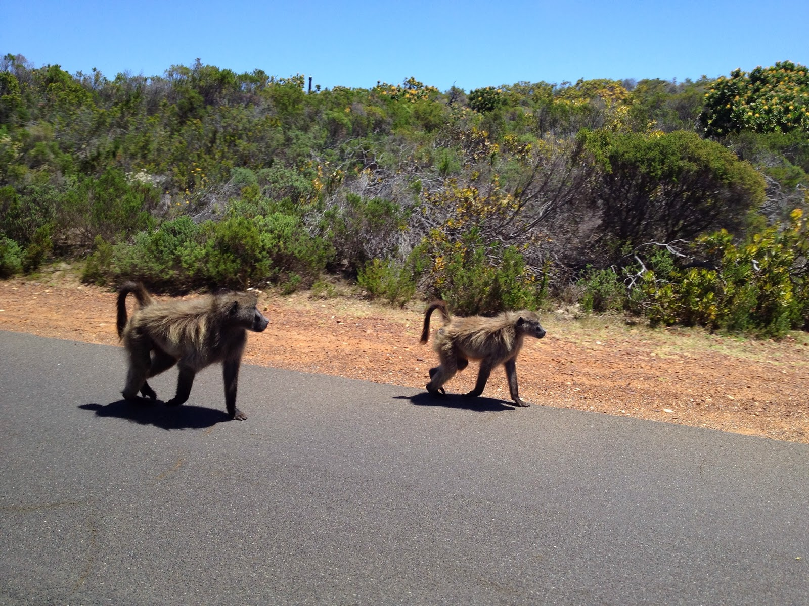 Cape Point Tour - Baboons near Cape Point
