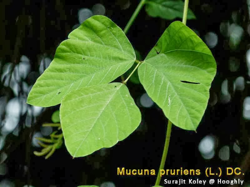 medicinal plants  mucuna pruriens