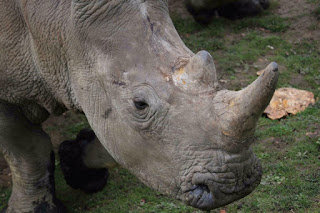 Vince the rare white rhino killed by poacher inside the French Zoo