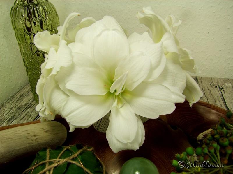 weisse-amaryllis