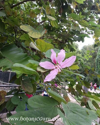 Bauhinia purpurea, Butterfly Tree, Orchid Tree flower