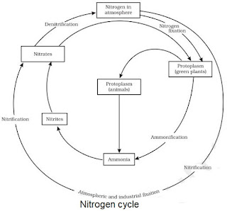 Notes of ch 14 natural resources class 9th science study rankers the sequence in which nitrogen passes from the atmosphere to the soil and organisms and then is eventually released back into the atmosphere ccuart Images