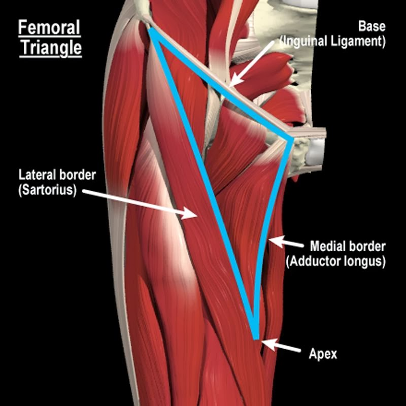 What I learned today Question of the Day Femoral Triangle - femoral triangle