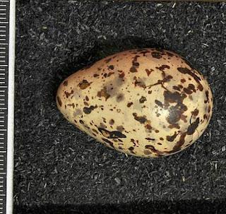 Tringa stagnatilis egg