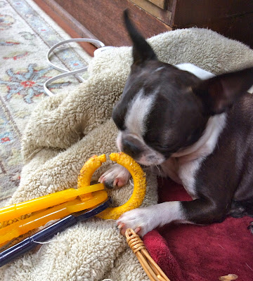 Sinead the Boston terrier and her keys