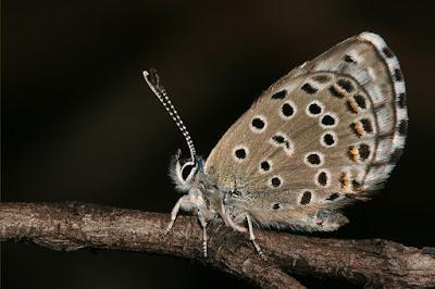 Foto de Pseudophilotes abencerragus
