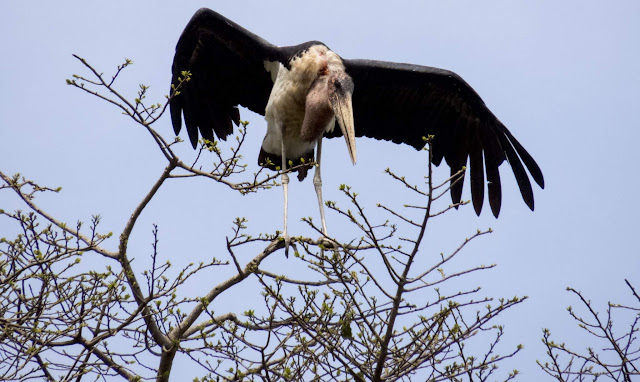 50 Awesome Birds You Can See in Uganda: Marabou Stork in Entebbe Botanical Gardens