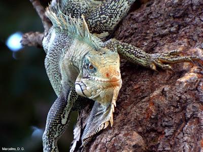 Iguana verde, Green iguana, sinimbu, répteis, iguana, lagarto verde, animais, animal, palmas, tocantins, área verde, arborização urbana, biodiversidade, meio ambiente, conservação