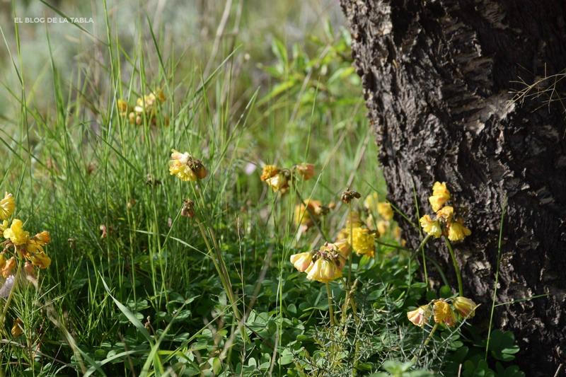 Oxalis pes caprae flor doble
