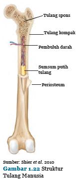 Struktur Tulang