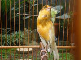 Burung Kenari - Metode dan Cara yang Banyak Untuk Memaster Burung Kenari