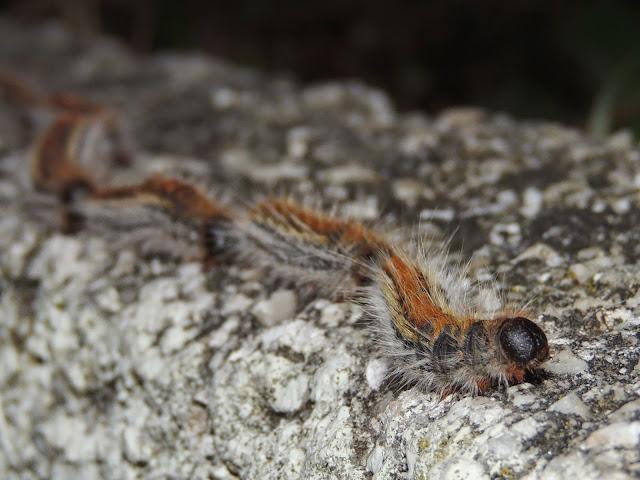 Thaumetopoea pityocampa, la Procesionaria del pino