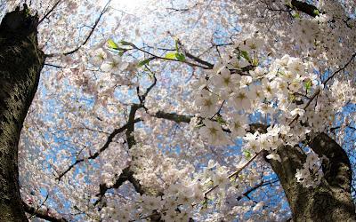 almendro-con-todas-sus-ramas-cubiertas-de-flores