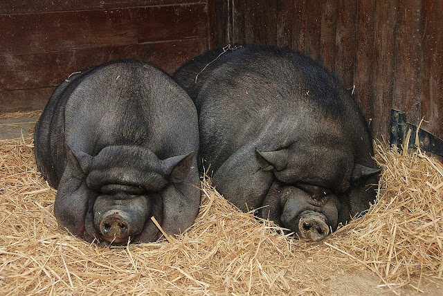 Shock As Pigs Feast On Woman After She Fainted In Sty