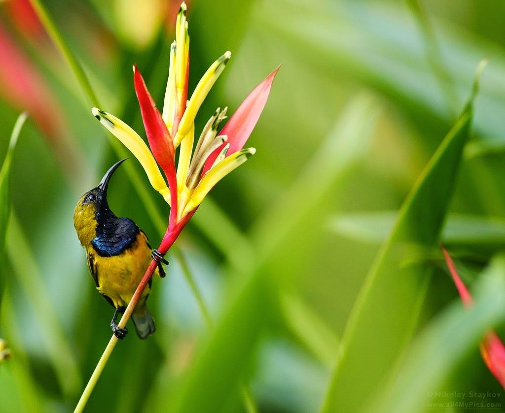 Burung Srigati Sogon Dan Cara Merawatnya