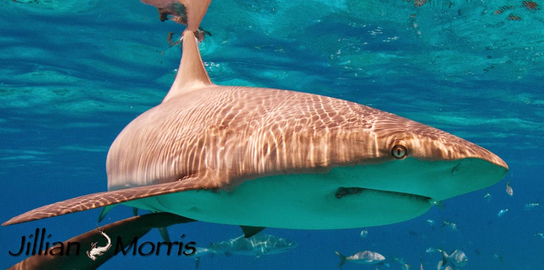 THE ADVENTURES OF SHARK GIRL : Shark Sunday: Caribbean