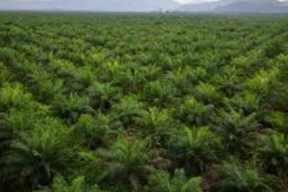8 hal yang perlu dipersiapkan dalam perencanaan pembukaan kebun kelapa sawit 2018