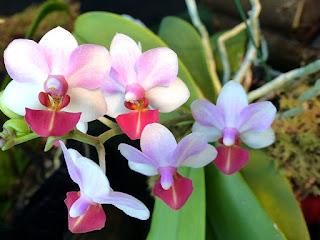 Doritaenopsis Liu's Triprince (Doritaenopsis Eduardo Quisumbing x Phalaenopsis lobbii)