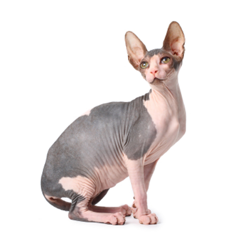 Can Sphynx Cats Have Hair