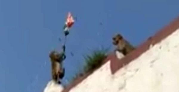 Ajmer, Pushkar, Rajasthan, Tricolor, Independence Day, Monkey Hosted Tricolor, Rajasthan News, Ajab Gajab News