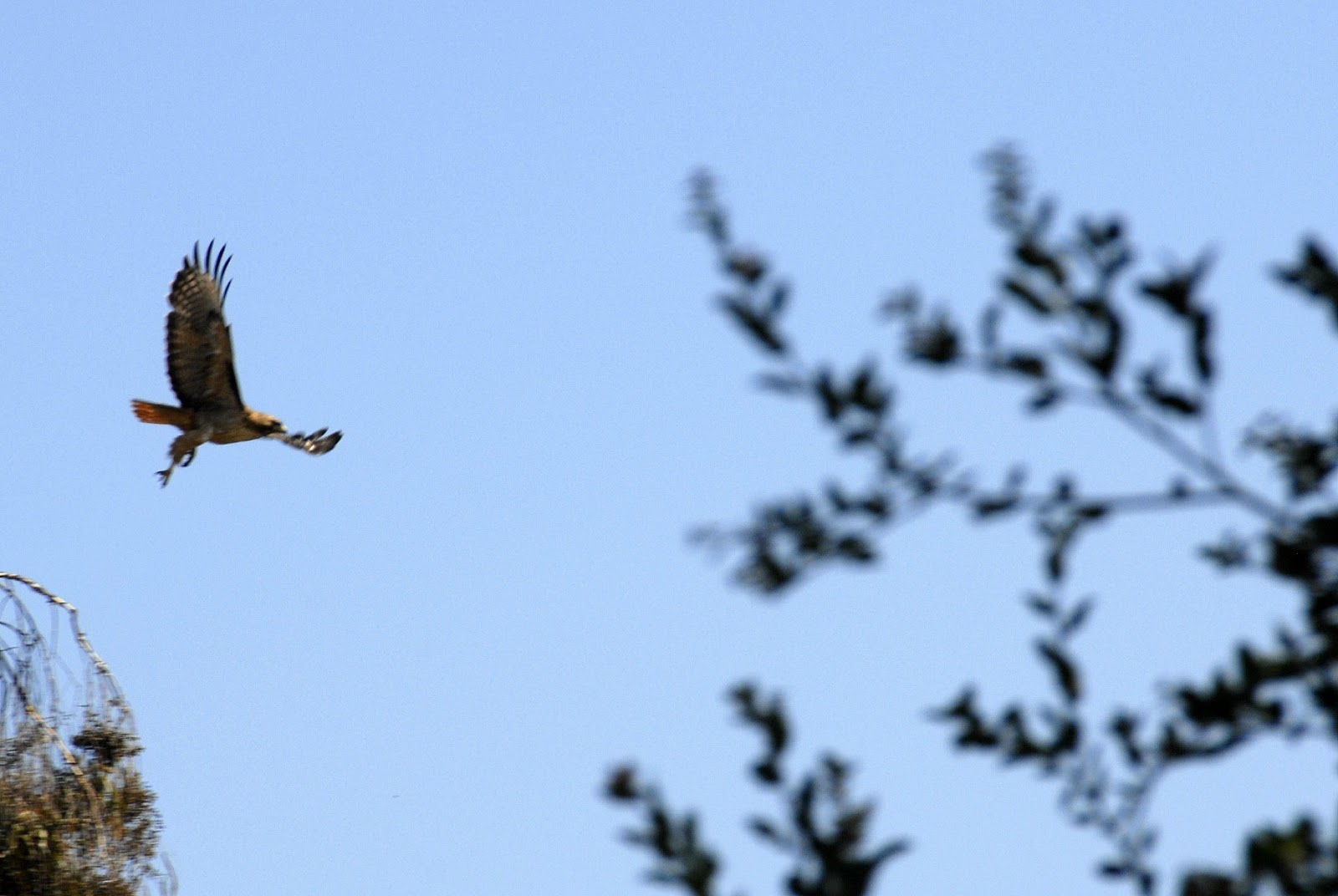 Hawk wing span