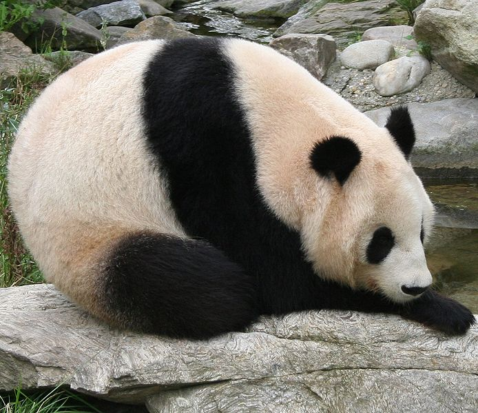 Giant Panda Facts For Kids – Learn All About Pandas