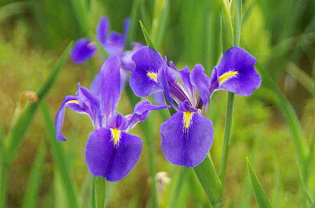 close-up, iris, flowers, field