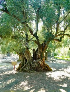 Olives, island of Zakynthos, Greece. Оливы, остров Закинф, Греция