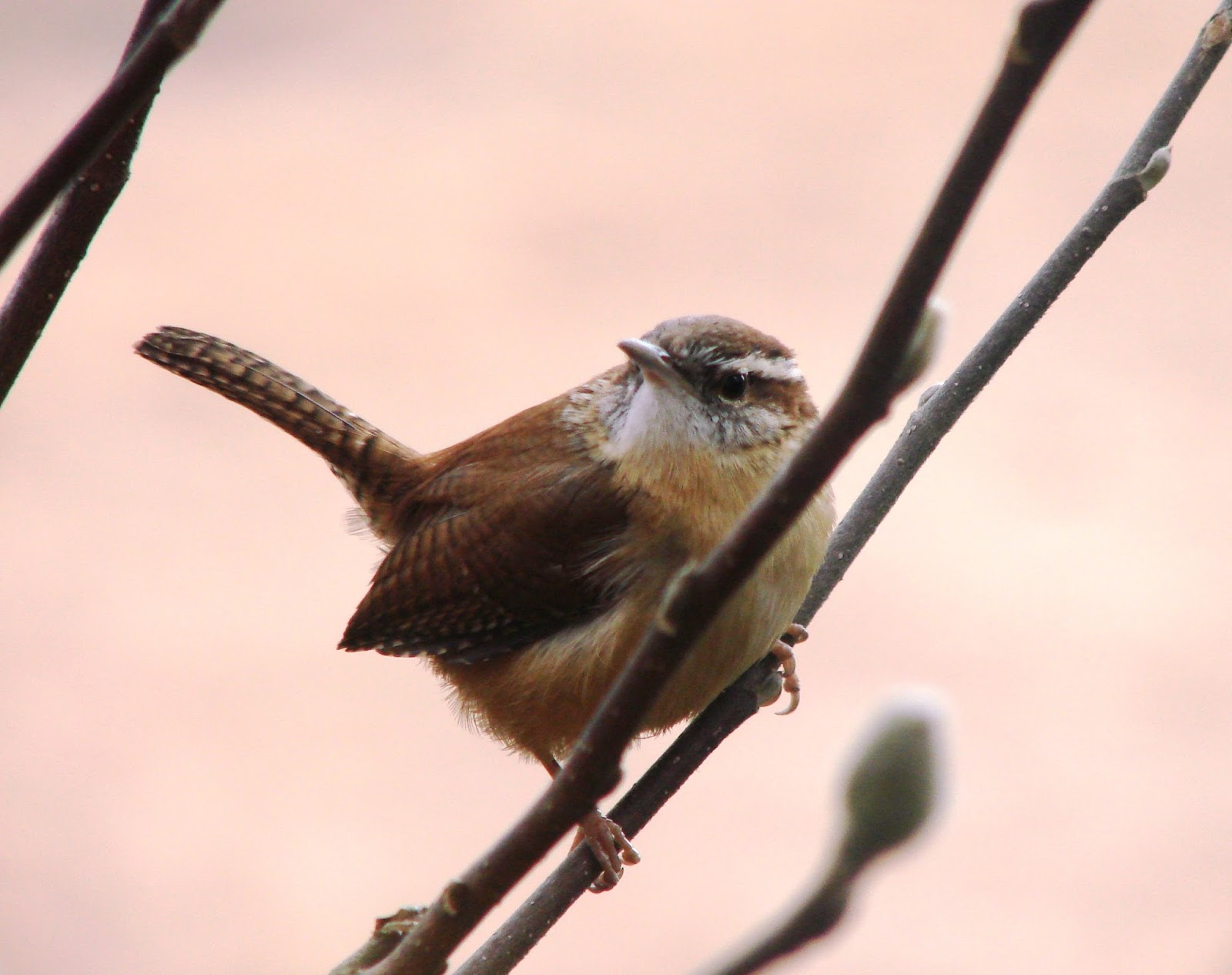 Picture of a house wren.
