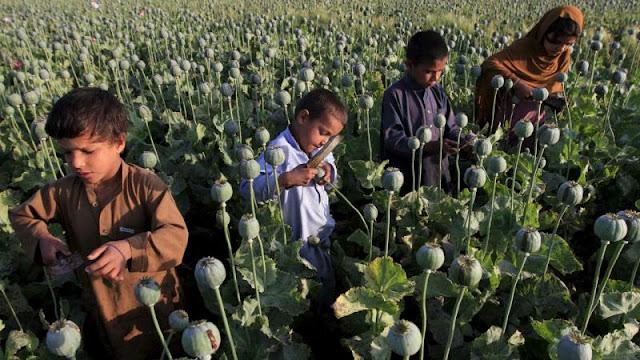 A produção de ópio no Afeganistão sobe 43 por cento de acordo com um novo relatório encomendado pela Organização das Nações Unidas