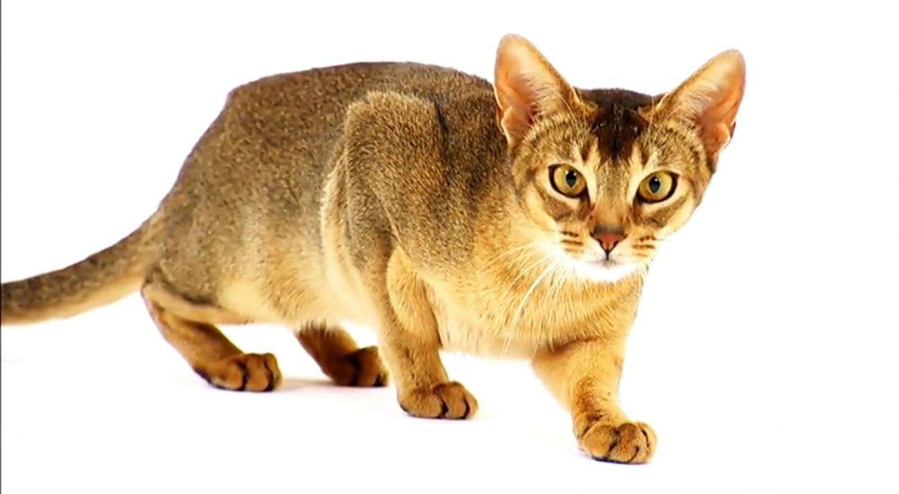 Abyssinian Cat Hd Wallpaper | Wallpapers Collection