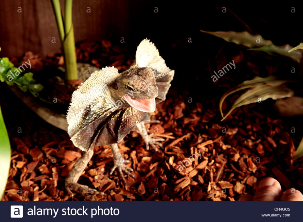 Frilled Dragon showing its frill around its neck on a bed of Stock