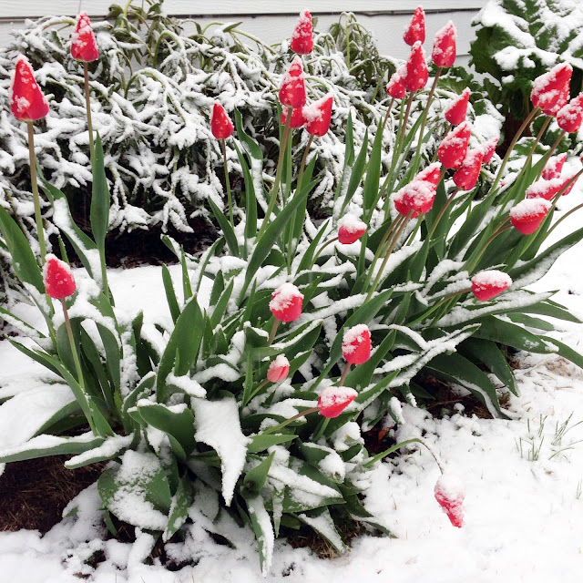 snow, spring, April, Tulips, Garden, Wisconsin, Anne Butera, My Giant Strawberry