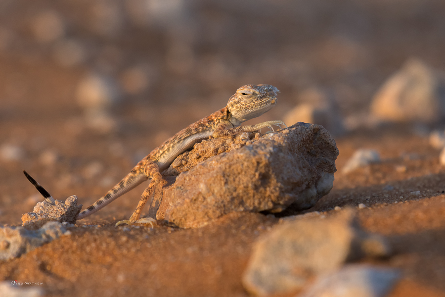 Arabian Toad-headed Agama