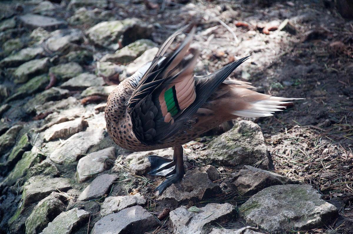 Duck, Parco Faunistico Cappeller, Nove, Veneto, Italy