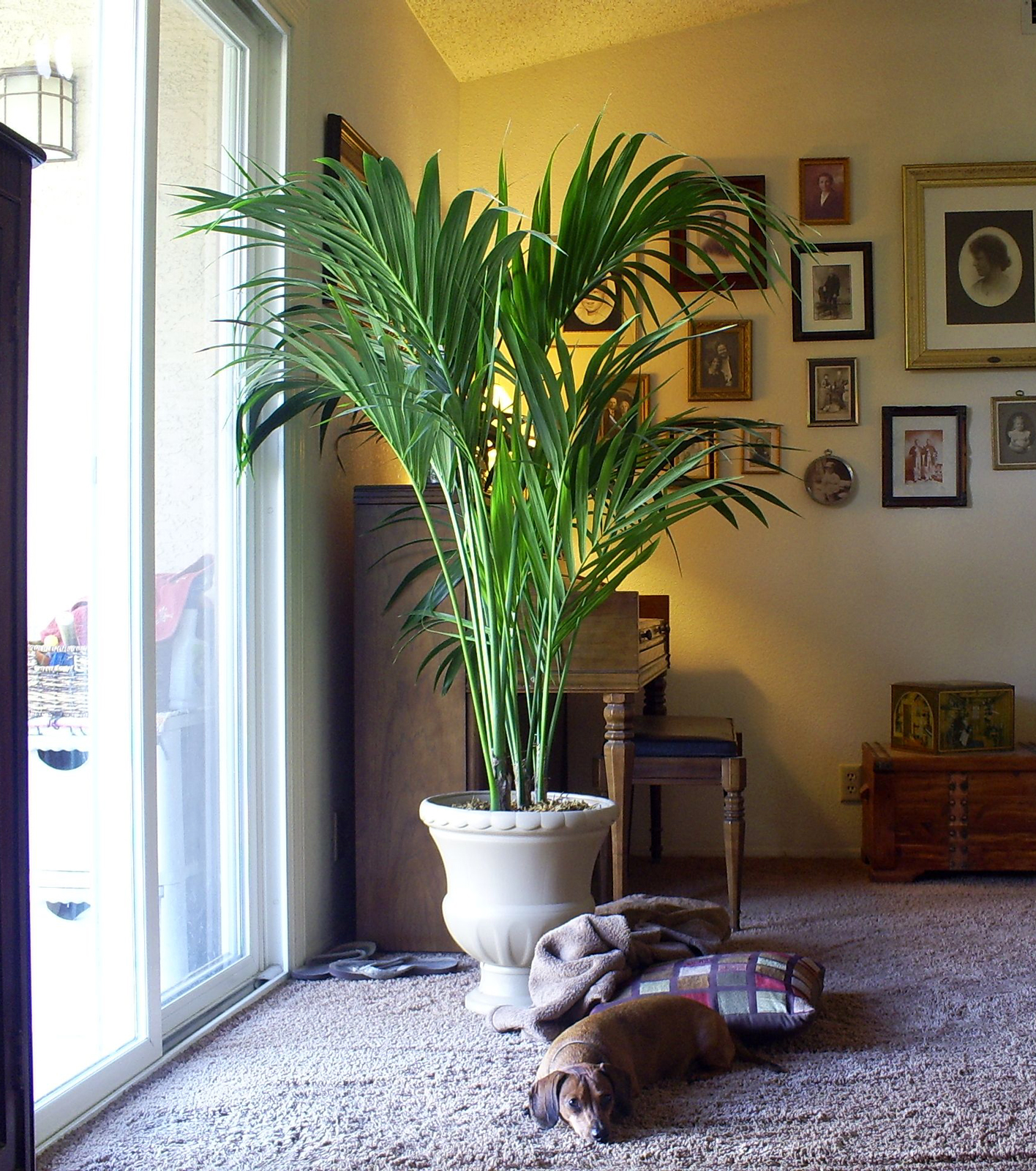 Palm Plants For Indoors: Brad's Tropical Paradise: Growing A Kentia Palm Indoors