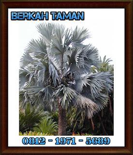 pohon palem bismarkia ( Bismarckia )
