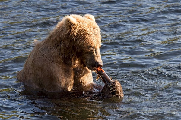 интересные факты о буром медведе еда гризли
