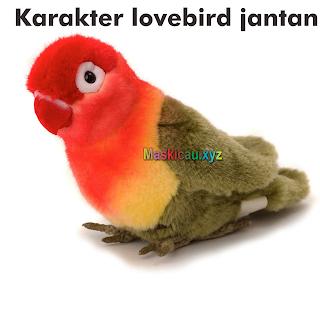 Setingan Lovebird Jantan Agar Setabil Dan Moncer DI LAPANGAN