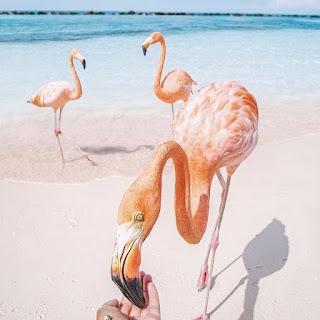Plaża z flamingami na Arubie
