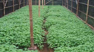 cara budidaya bayam hijau,budidaya bayam merah,teknik budidaya bayam,cara menanam bayam dalam polybag,cara-cara menanam sayur bayam,cara menanam bayam di polibag,cara penanaman bayam yang baik,