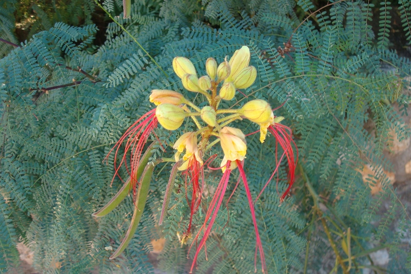 Mi herbario del jiloca caesalpinia gilliesii - Caesalpinia gilliesii cultivo ...