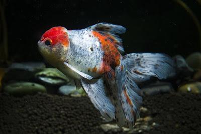 ikan hias china mas koki