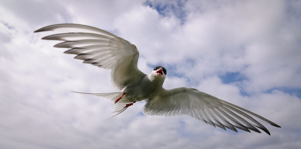 Beautiful Arctic Tern by justinclayton99