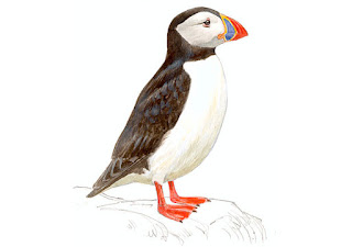 https://www.xeno-canto.org/sounds/uploaded/TYEQKORVXJ/XC253830-Puffin%2024%20June%202015.mp3